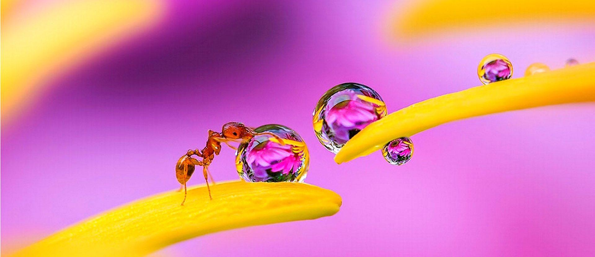De mieren en de dauw