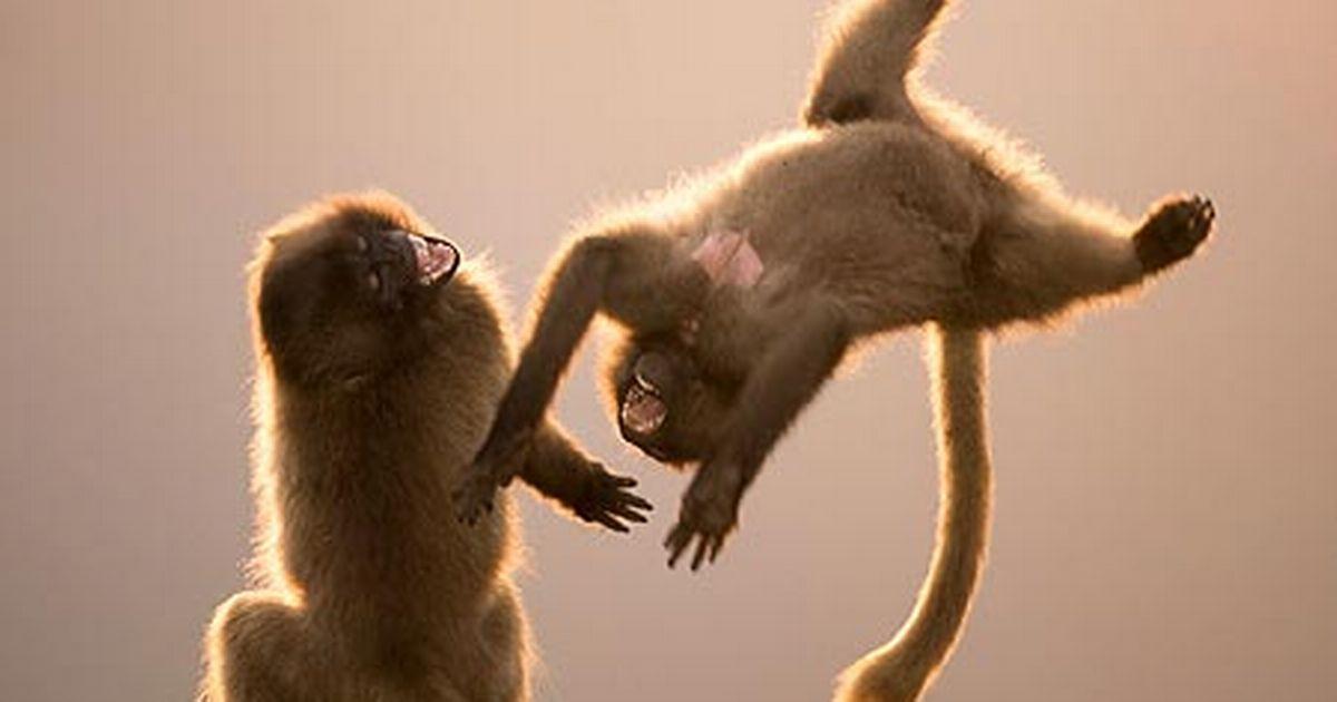 De meester en de apen
